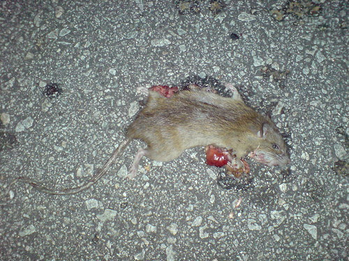 Rat roadkill - soon after death