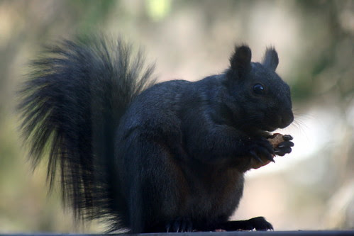 Black Squirrel_0486