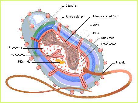 external image estructura-bacteria2.jpg?w=454&h=339