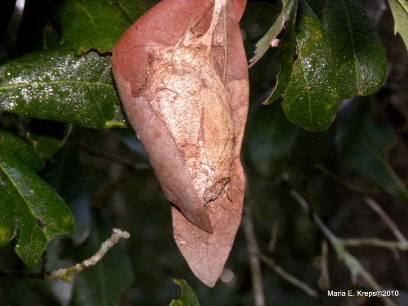 Moth Cocoon