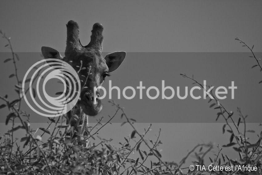 photo 23ChobeGiraffe-tiaphotoblog_zps69899a7f.jpg