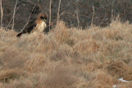 Rock Meadow redtail hawk with catch