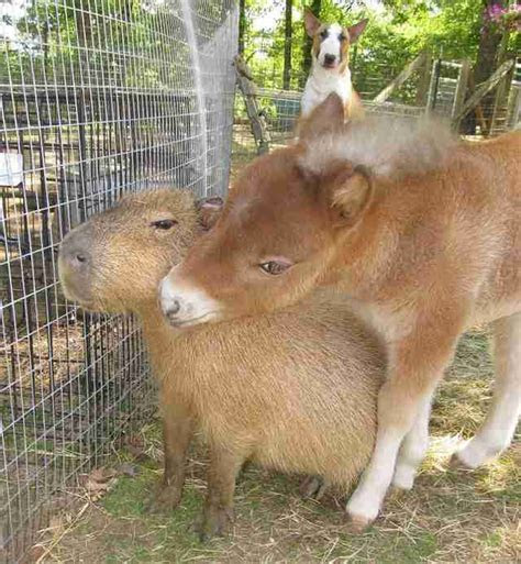 Capybara Is Friends With All Animals At Arkansas Sanctuary   The Dodo