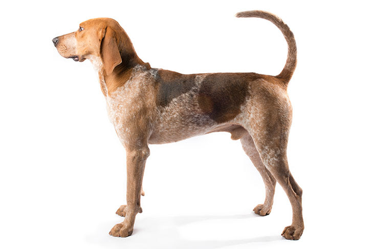 American English Coonhound Dog Breed Information
