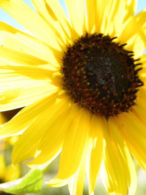 DSCN4339 Sunflower
