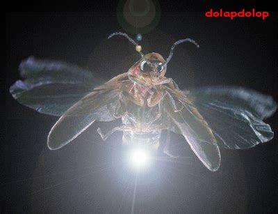 inilah  kunang kunang bercahaya dolapdolop