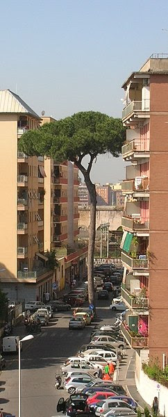 File:Pinus pinea in Rome.JPG