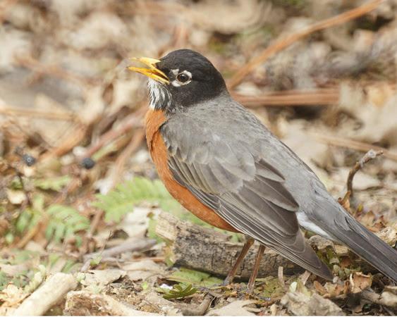 Ed Gaillard: birds &emdash; American Robin singing, Central Park