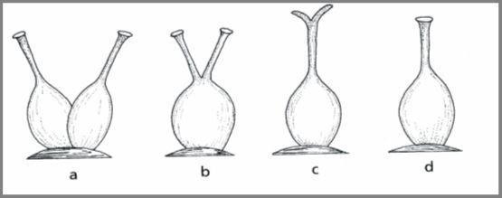 GINECEO SINCARPICO: Fusión a nivel de los ovarios (total o parcialmente, a), estilos y estigmas libres (b), fusión a nivel de los ovarios y estilos con los estigmas libres (c) y, fusión a nivel de los tres componentes del ovario (d).