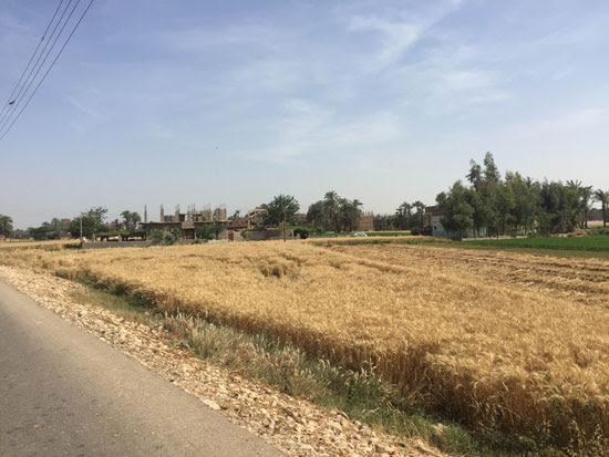 محصول القمح باسيوط (6)