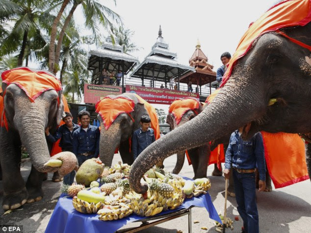 Sharing is caring: The elephants went to town on their buffet on National Elephant Day