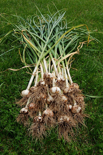Our Garlic Harvest (Unwashed) by Eve Fox copyright 2008