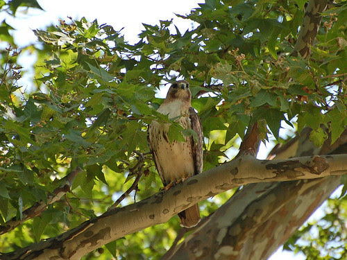Red-Tail Tristan