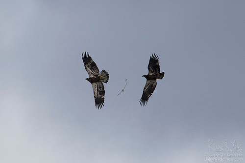 Bald Eagle: Juveniles Playing Catch