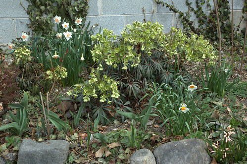 Hellebores and Daffodils, Summit Street Community Garden