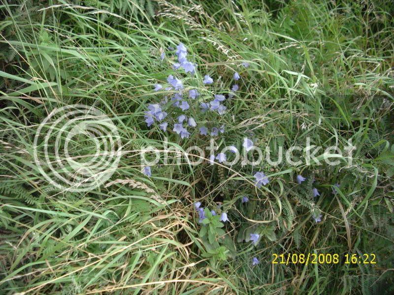Harebells or bluebells of Scotland?