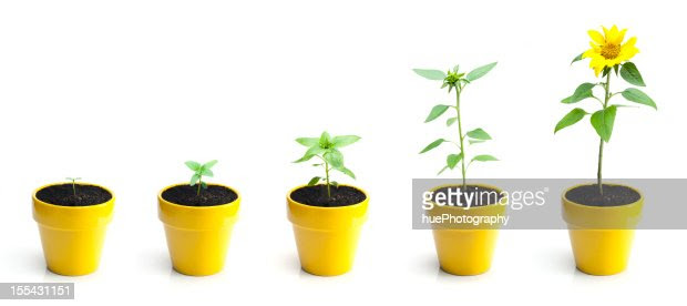 Sunflower Growth Stock Photo | Getty Images