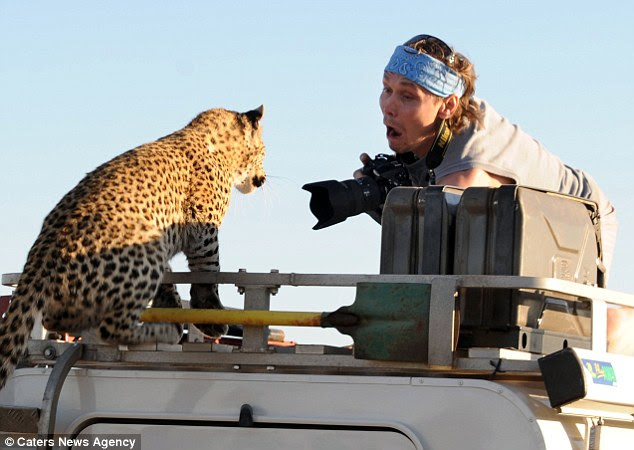 Just curious: The leopard settles down for a closer look as the photographer's expression turns to amazement