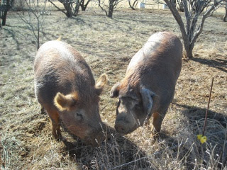 Duroc Boar Wilbur and Gilt Missy