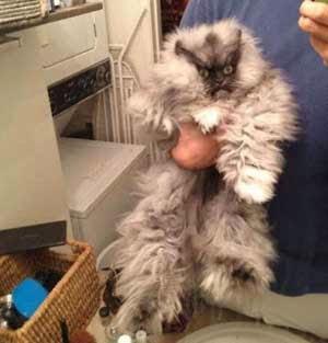 Seekor kucing berjulukan Colonel Meow sekarang memagang rekor dunia gres Kucing Dengan Bulu Terpanjang di Dunia