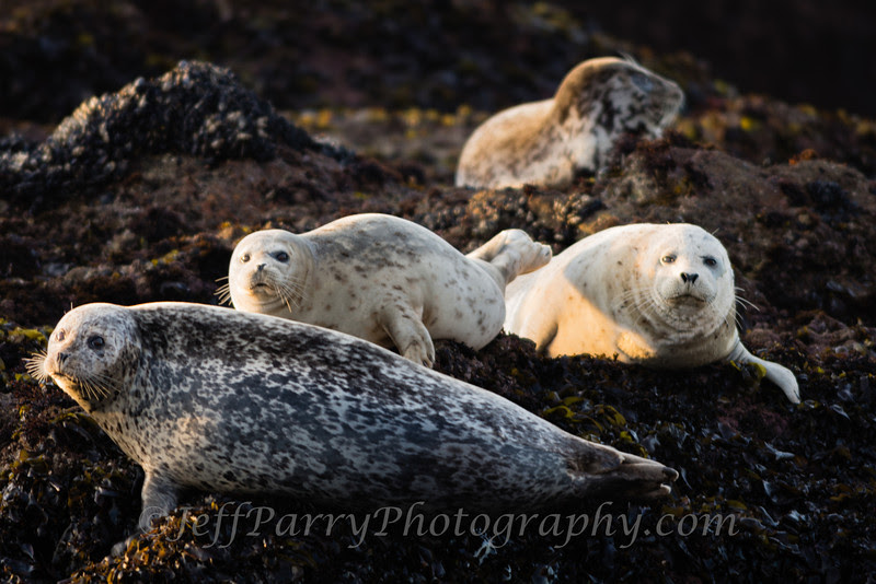 Pacific Harbor Seals
