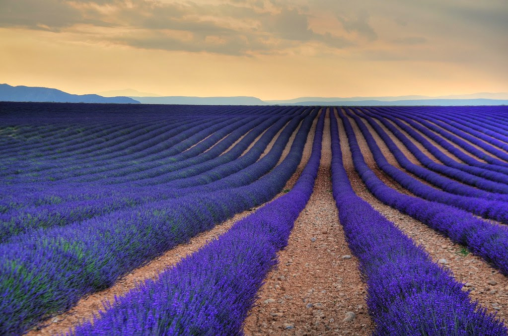 Image result for Lavender Fields
