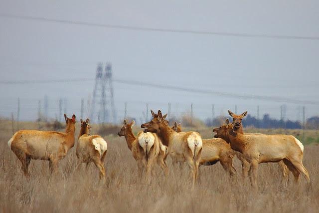 IMG_5734 Tule Elk State Reserve