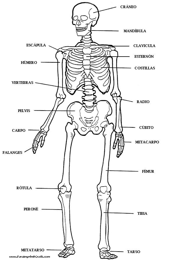 Esqueleto Humano Para Imprimir Gratis Paraimprimirgratiscom