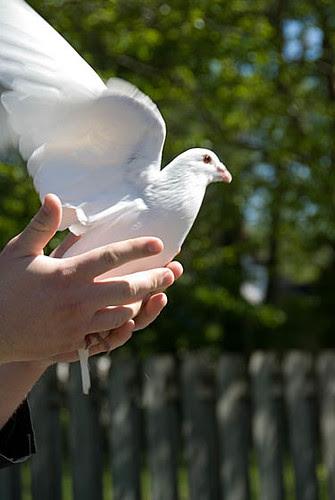 White Dove_0310