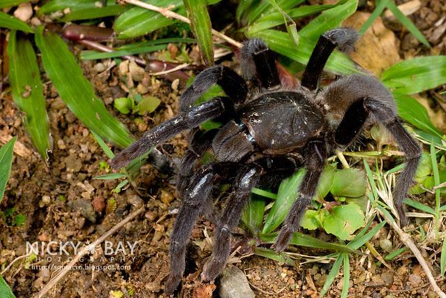Tarantula (Theraphosidae) - DSC_1138