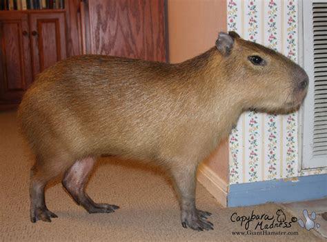 giant « Capybara Madness