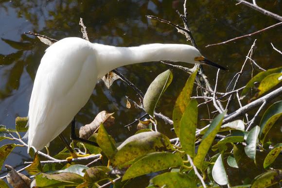 Ed Gaillard: birds &emdash; Snowy Egret, Green Cay
