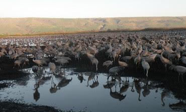 35,000 cranes at Agamon Lake in Hila valley