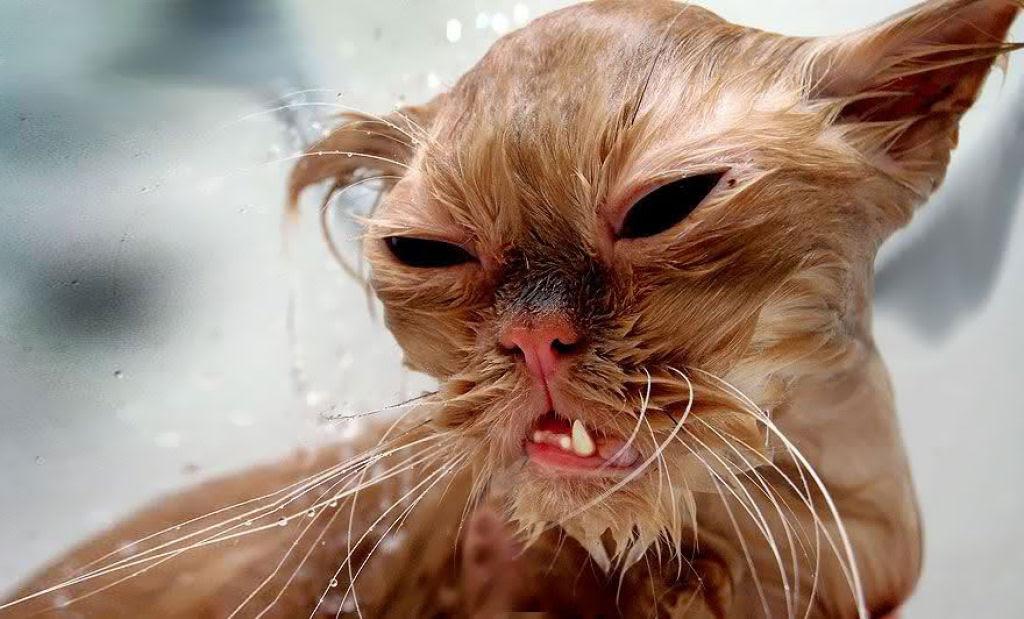Fotografias engraçadas de gatos tomando banho 24