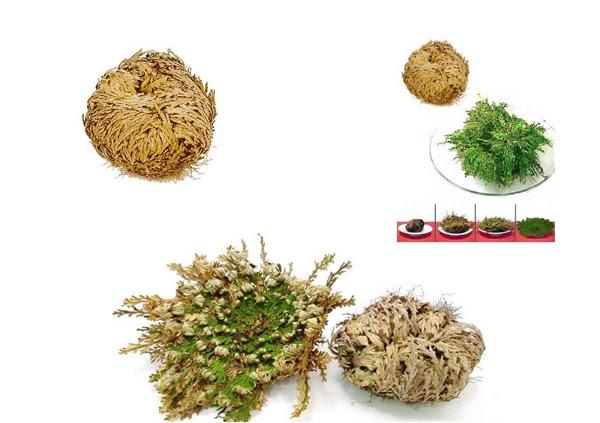 "perierga.gr - Ένα παράδοξο φυτό που δεν ""πεθαίνει"" ποτέ!"