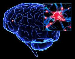 brain neurones