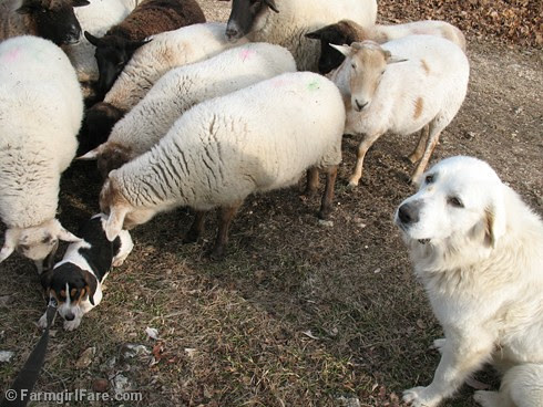 Meet the Sheep Day 9