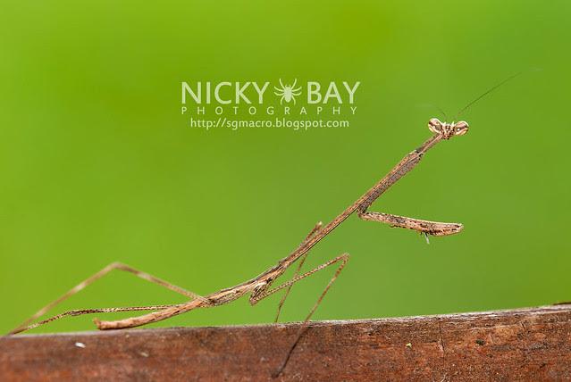 Stick Mantis? (Mantodea) - DSC_7062