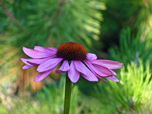 Echinacea with bokeh by annkelliott