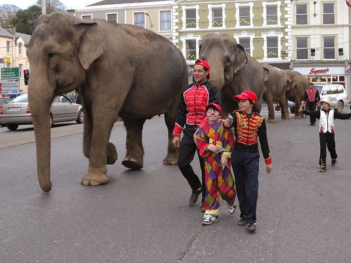 Depressed circus elephants being paraded in Fermoy, Co. Cork, Ireland