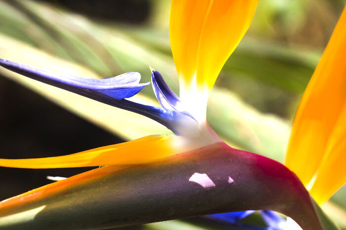 Bird Of Paradise Flower Meaning Flower Meaning