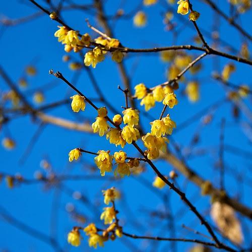 Winter sweet in blue sky