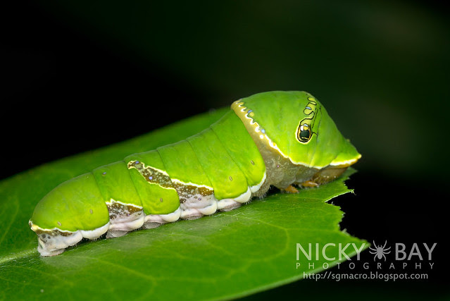 Common Mormon larva (Papilio polytes) - DSC_6521