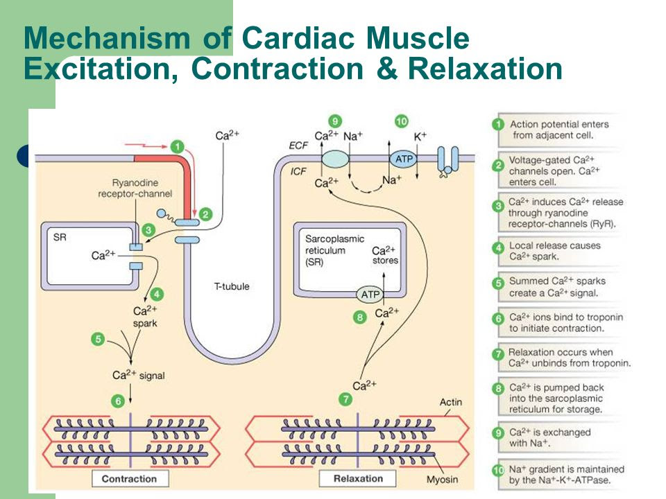 Mechanism+of+Cardiac+Muscle+Excitation%2C+Contraction+%26+Relaxation