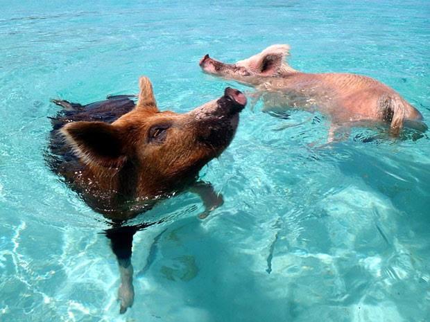 Ilha dos Porcos, nas Bahamas, em que porcos nadam em meio a turistas (Foto:  Christopher Dorobek/Creative Commons)