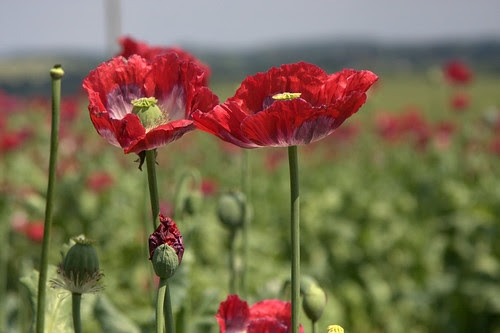 Shropshire Poppies