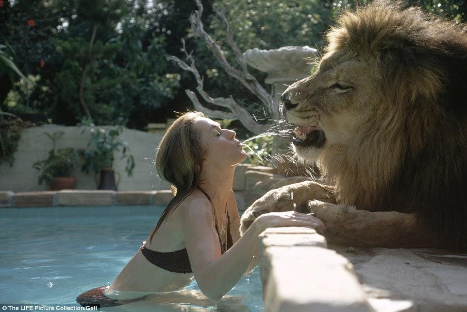 A vida no rugido: a mãe de Melanie Griffith, Tippi Hedren, uma musa do famoso diretor Alfred Hitchcock, sem medo de brincar com Neil, o leão