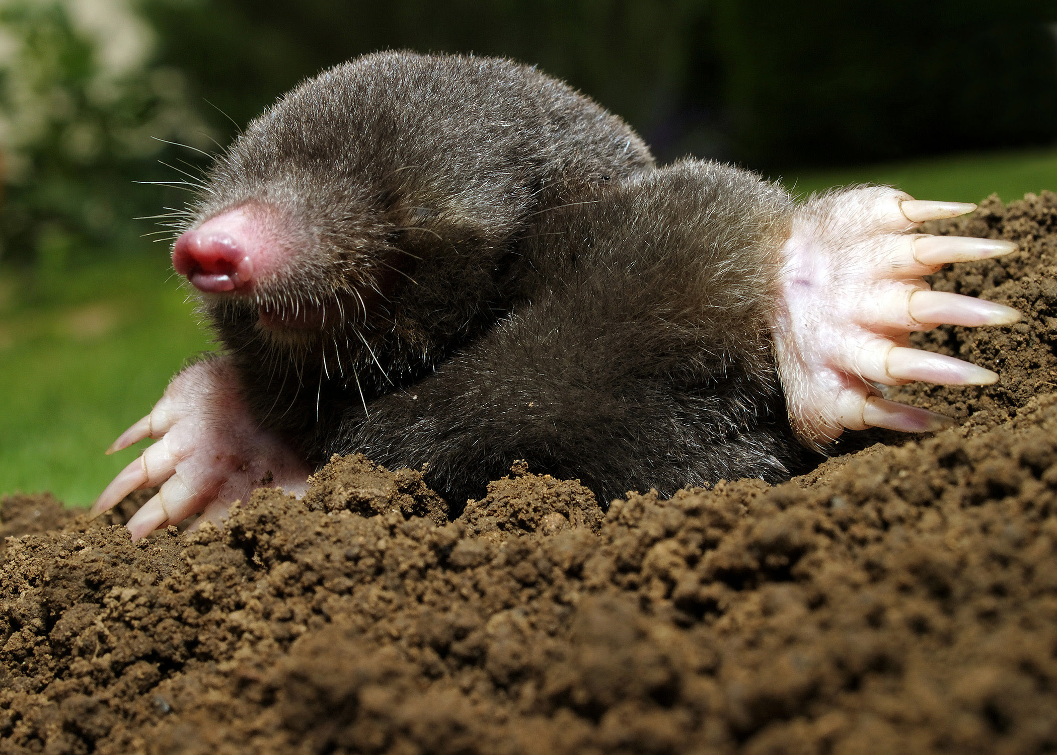 Image result for mole rodents
