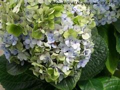 ch - cv green & lilac hydra