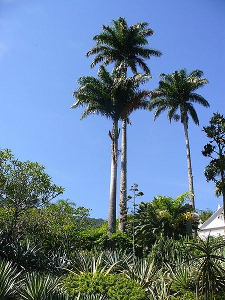 File:Roystonea oleracea (Scott Zona) 001.jpg